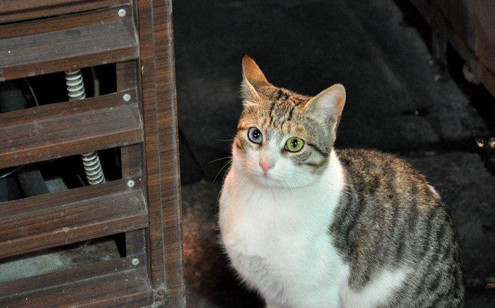 gato de van turquia