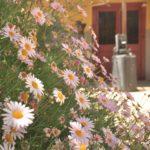 Florcitas en el patio de la pisquera.