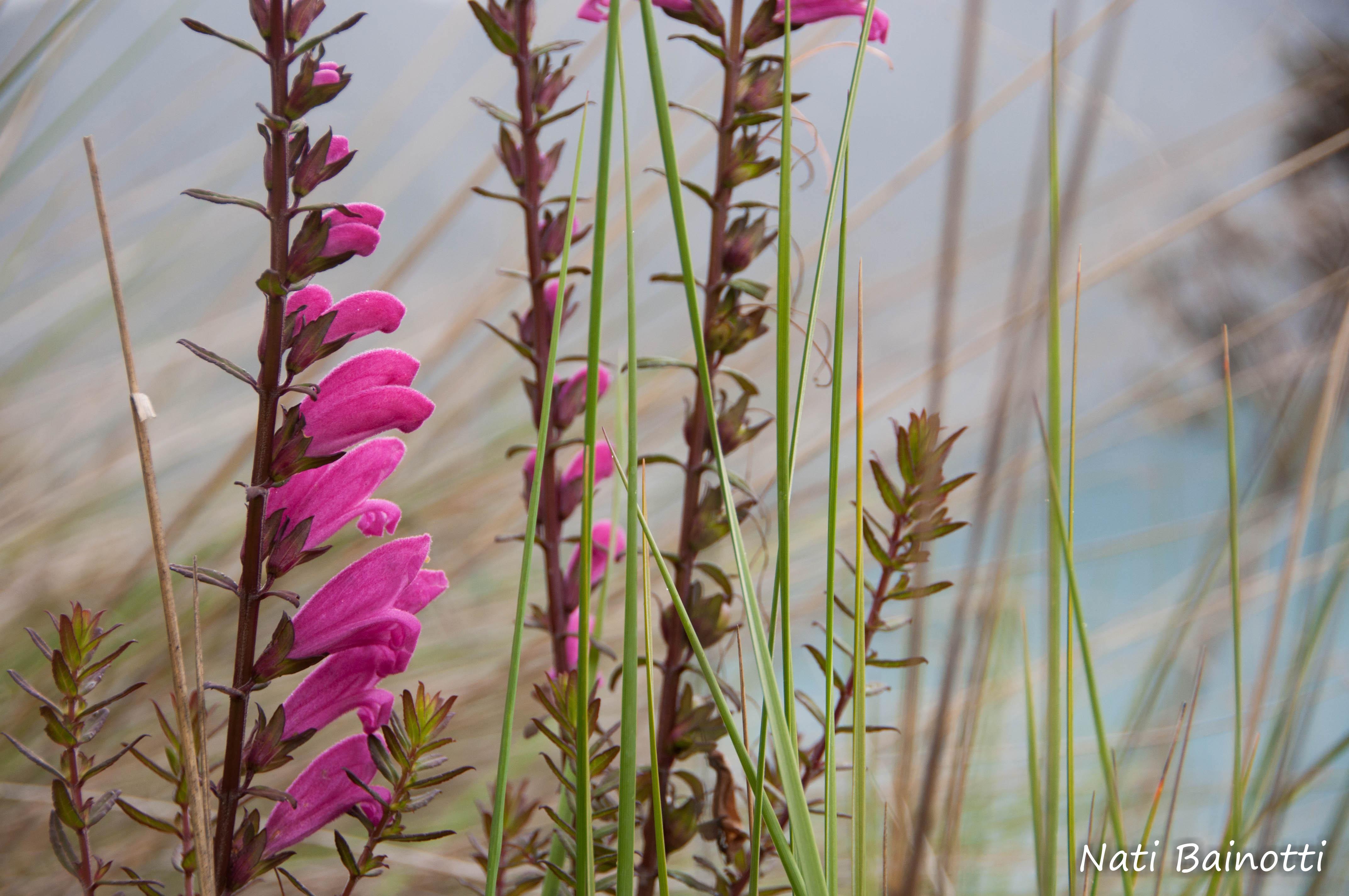 flores rosadas en el quilotoa