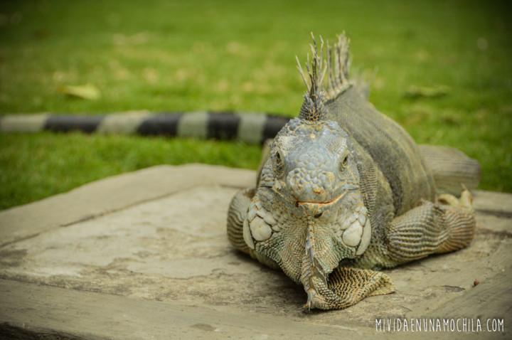 iguana parque bicentenario