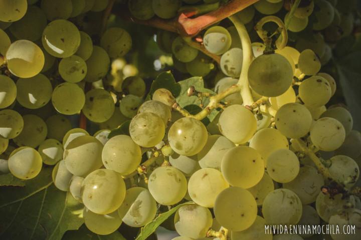 uvas vino mendoza